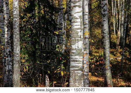 Tall Slender White Birch Trunks In A Golden Dress  Russian Autumn Landscape Watercolor Illustration.