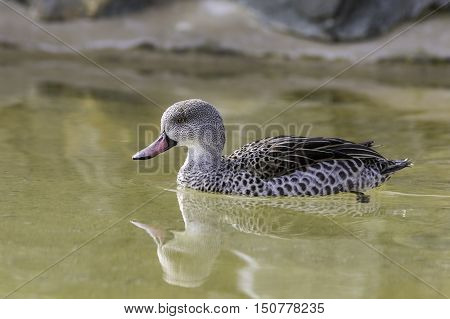 Cape Teal (Anas Capensis) on water with reflection