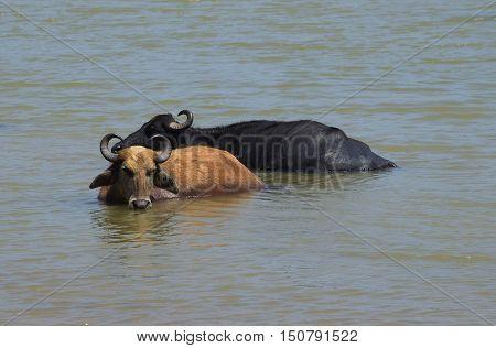 Two lying in the water Buffalo. Sri Lanka