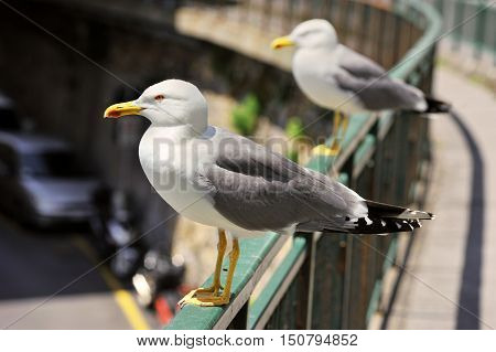 Two Greater Black-backed Gull , Larus marinus, standing on the bridge