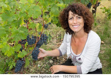 Cheerful Woman Harvesting Grapes In Vineyard During Wine Harvest Season
