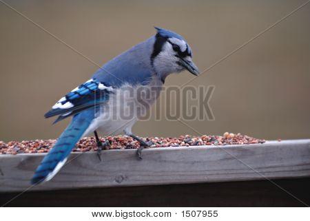 North American Blue Jay Feeding