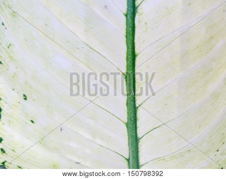Abstract White Leaf Texture, For Background Photo