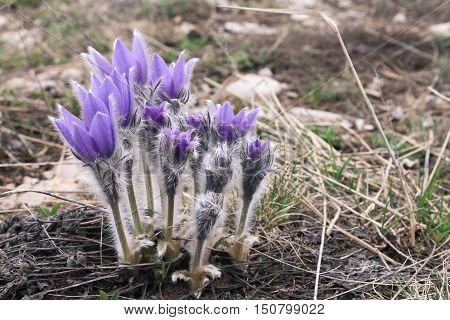 pasque-flower, а flowering in a spring garden