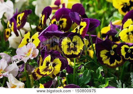 flowerbed with purple and white pansies closeup