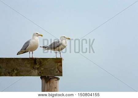 A pair of seagulls isolated against clear sky. Space for your text.
