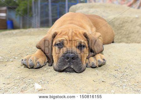 South African Boerboel Puppy