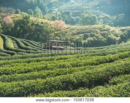 Tea plantation in the mountains of northern Thailand.