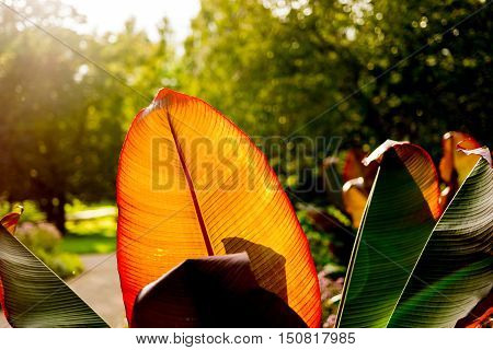 Huge orange and red huge leaf illuminated by the sun