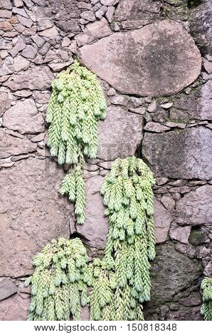 Donkey Tail Succulent Cascading From Volcanic Rock Wall