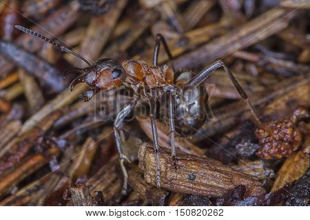 Ants on anthill/ANT/Red ant in forest/Protect house.