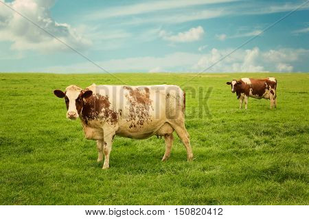 Cow on pastoral summer green grass meadow