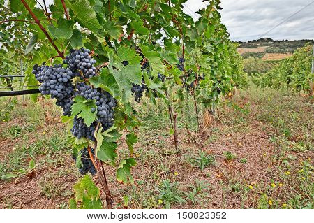 Landscape of italian hills, valley with rows of grapevine - vineyards for wine production in Emilia Romagna, Italy