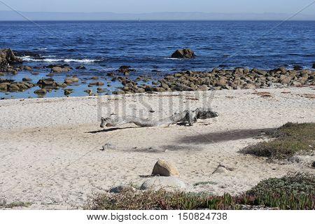 Driftwood on the beach along the coast of Pacific Grove, California.