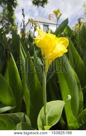 Flowers-flower-yello-canna-lily