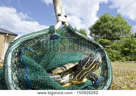 Close up off a marine turtle in a green net.