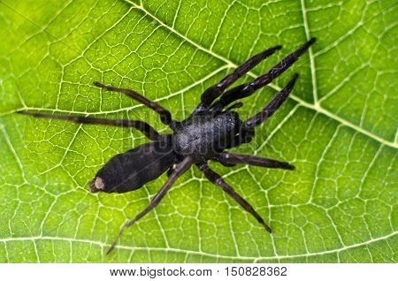Adult white-tailed spider showing body pattern details on a green leaf.