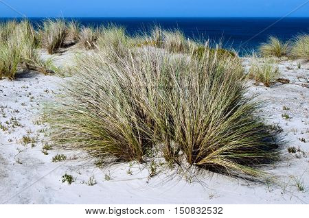 Marram Grass In Henderson Bay In Northland New Zealand. Photo By Rafael Ben-ari/chameleons Eye