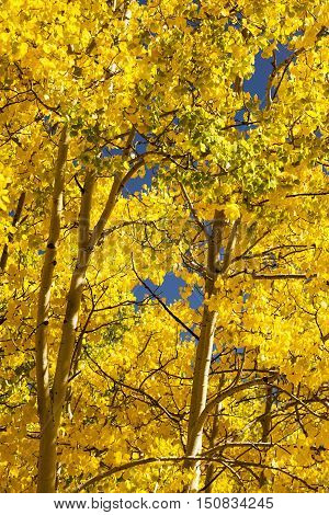 Brilliant Gold Quaking Apsen in a Colorado autumn