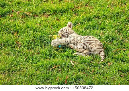 A small white tiger, Panthera tigris, plays in the green grass. The white tiger is present only in the Bengal tiger, the only one with the recessive gene.