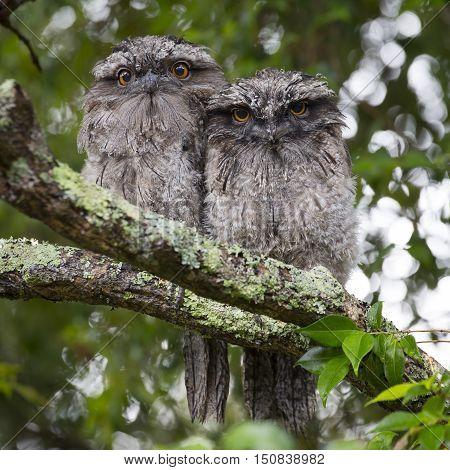 Owl Bird Wildlife Moss Covered Tree Limb Perch