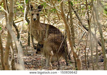 Eastern Grey Kangaroo Female With Her Joey In Gold Coast Australia