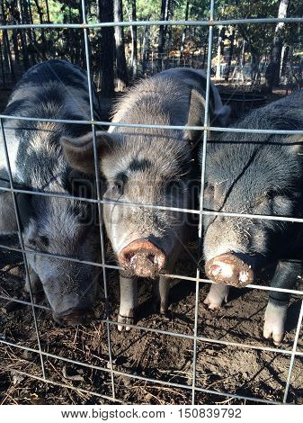 Three little pigs in a pen on the farm