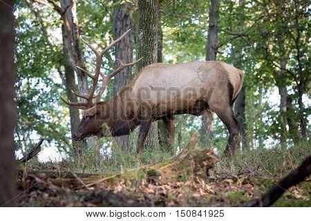 Bull elk walking through woods with head down