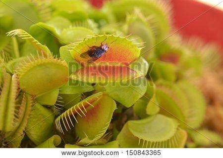 Venus Flytrap Eats A Fly