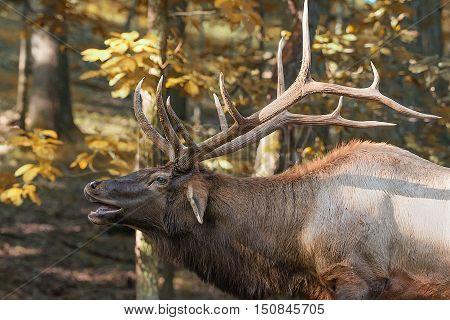 Bull elk with head tilted back bugling