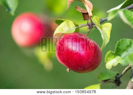 Red apples growing on a tree branch. Natural green background.