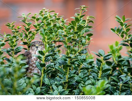 Immature Coopers Hawk hiding in the backyard bushes