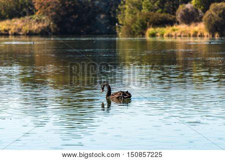 Black swan feeding on green plant on pond. Selective focus shallow DOF