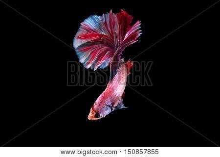 Siamese Beta Fighting Fish on black background