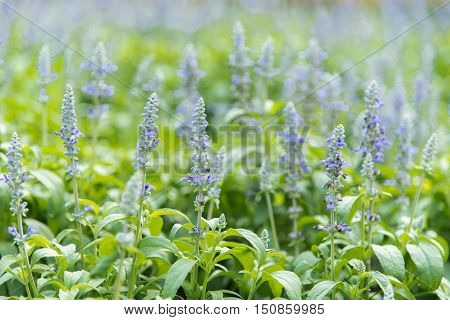 Blue Salvia Farinacea flowers blooming in the park.