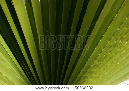 Ribbed leaf of Washingtonia filifera palm. Nature plant texture