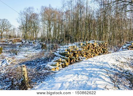 Winter forest in the Netherlands with a path felled trees and piled trunks. The sun is shining and a layer of snow covered the landscape.