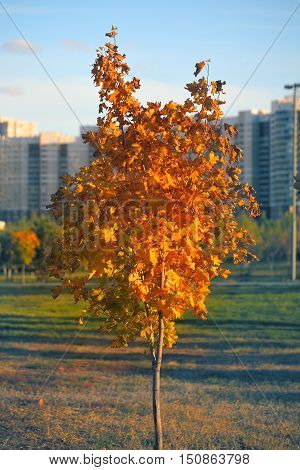 Young tree with yellow leaves in the city park.