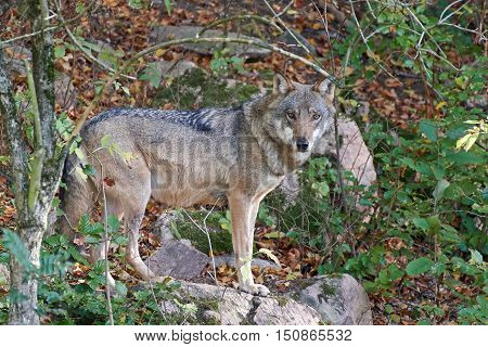 Grey wolf (Canis lupus) standing on a rock in its habitat