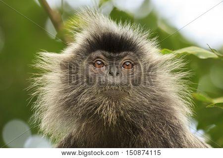 Monkey in forest. Silvery Lutung monkey. Silvered leaf Langur monkey