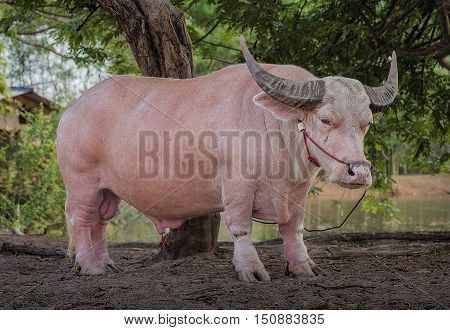 Albino buffalo (Thailand Pink buffalo),buffalo in Thailand.