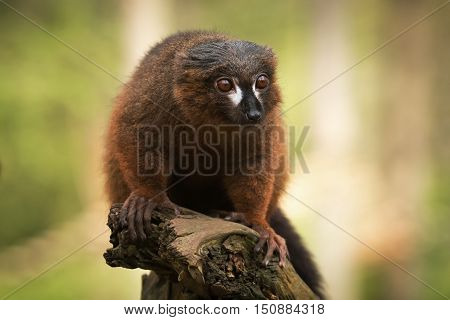 Front view portrait of adult male red-bellied lemur