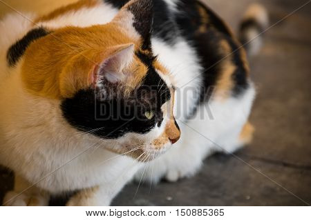 Portrait of calico cat sitting and looking afar