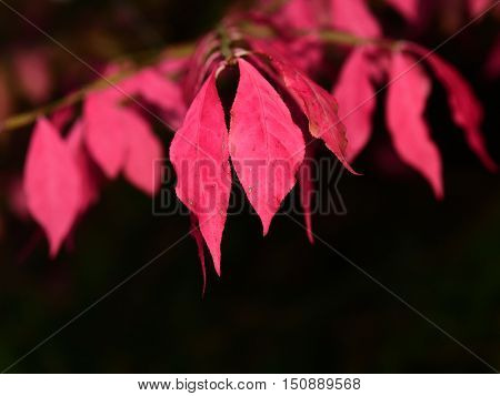 Fall pink Leaves well-lit landscape bright color dark background