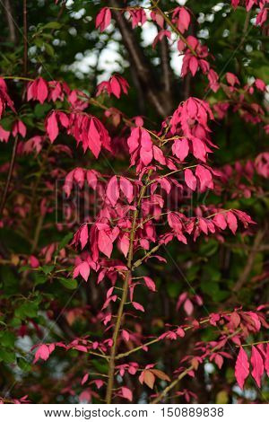 Pink Leaves Fall Small Tree well-lit bright color