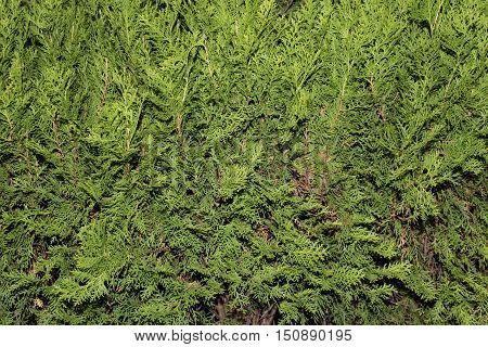 Green thuja tree branches close up details as background image. Green Hedge of Thuja Trees (cypress juniper). Bush thuja. Thuja green natural background. Hedge of thuja trees close up. Thuja texture. Green Hedge of Thuja Trees.