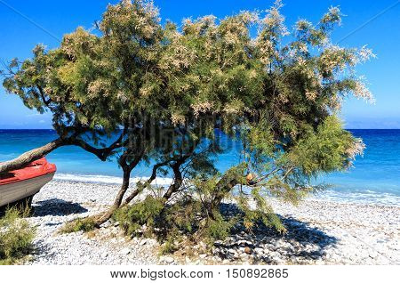 Divi divi trees and a red boat on the beach on the coast of Greek Island Rhodes