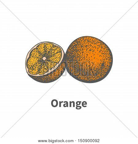 Vector illustration doodle sketch hand-drawn ripe juicy orange and cut a piece half. Isolated on white background. The concept of harvesting. Vintage retro style.