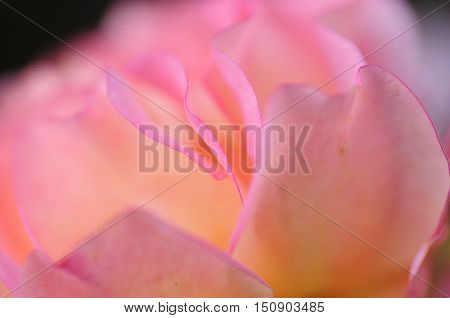 Close up of a pink rose with a very shallow dept of field
