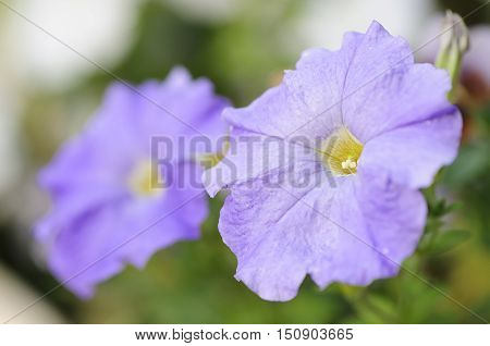 A purple petunia with shallow dept of field